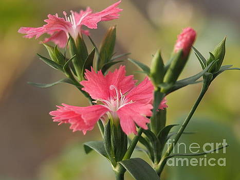 Dianthus In The Garden by Dorothy Lee