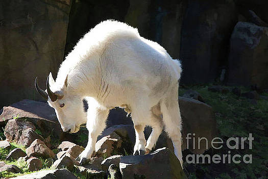 Chuck Kuhn - Digital Oil White Goat