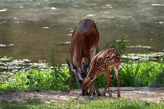 Doe and Fawn Whitetail Deer  by Kathy Clark