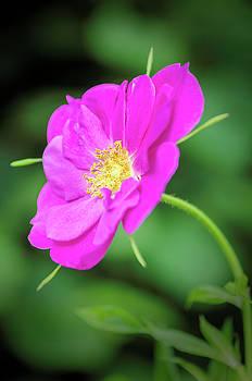Dog-rose by Jeremy Sage