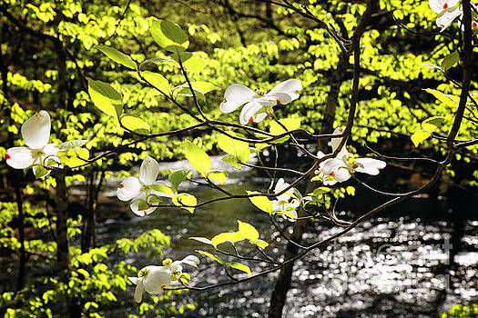 Dogwood Bloom Along a River in New Jersey by George Oze