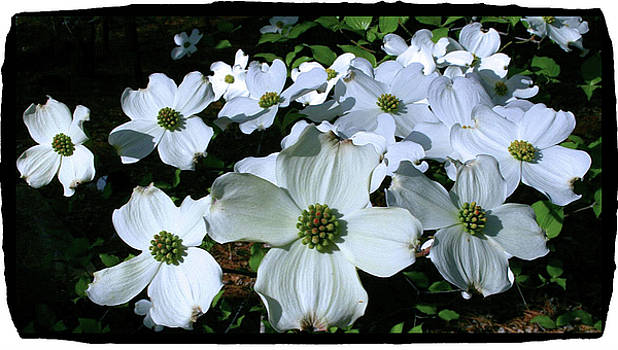 Dogwood Blooms by Cathy Harper
