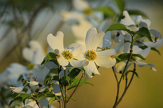 Dogwood Blossoms by Carolyn Wright