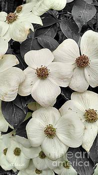 Dogwood Blossoms by E B Schmidt