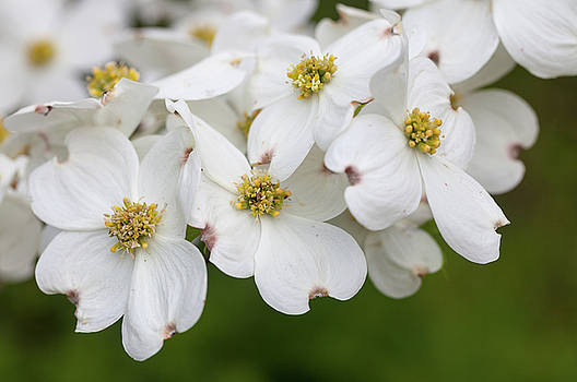 Dogwood Blossoms North Carolina Blue Ridge Parkway by Mark VanDyke