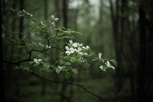 Dogwood Branch by Shane Holsclaw
