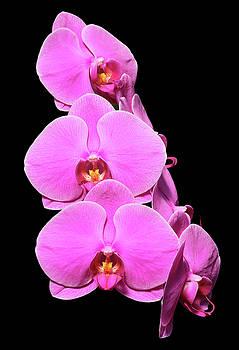 Doritaenopsis Sogo Smith by Judy Whitton
