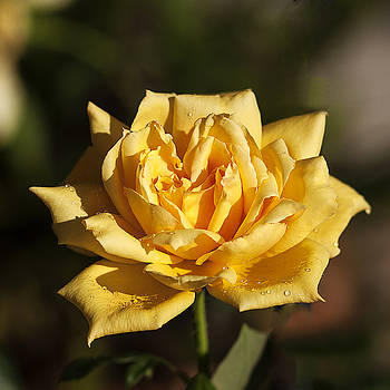 Dottie's Yellow Rose by Jim Ziemer