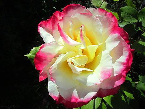 Joyce Dickens - Double Delight Rose