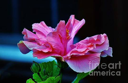 Double Pink Hibiscus by Craig Wood