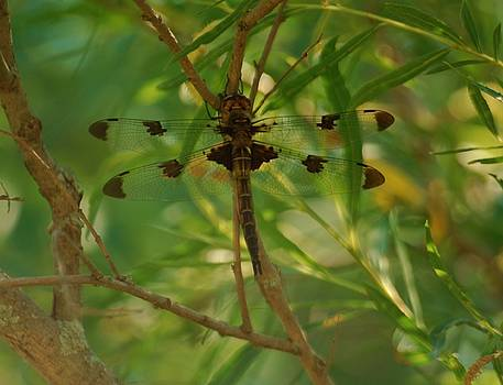 Double Winged Dragonfly by Ramona Whiteaker