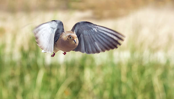 Dove in Flight by Tam Ryan