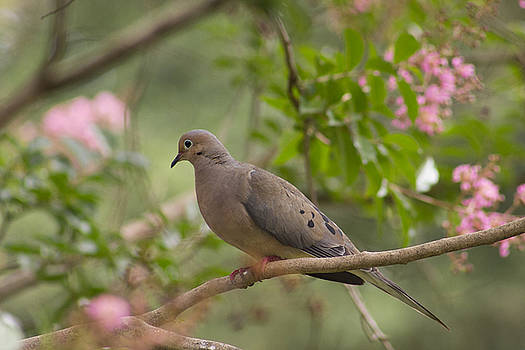 Dove on Branch by Mark Michel