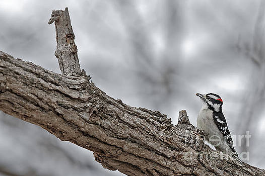 Downey Woodpecker Breakfast by Natural Focal Point Photography