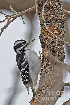 Downey Woodpecker in Winter by Natural Focal Point Photography