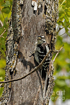 Downey Woodpecker  by Natural Focal Point Photography