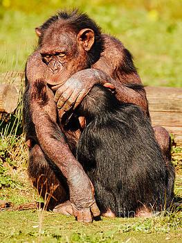 Dozing nursing chimpanzee by Nick  Biemans