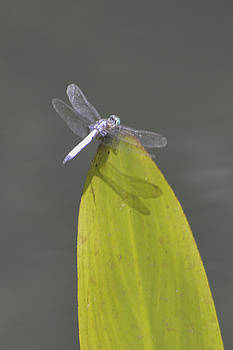 Dragon Fly by Linda Geiger