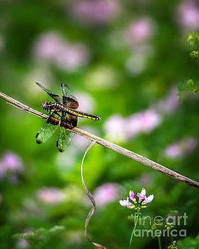 Tamyra Ayles - Dragonfly Waiting for a Mate