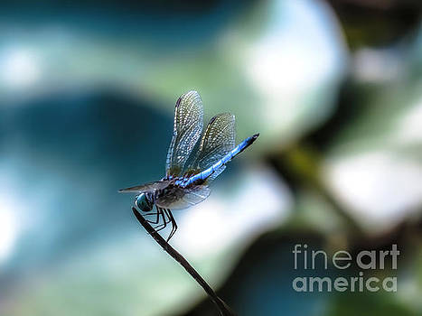 Dragonfly by Brenda Bostic