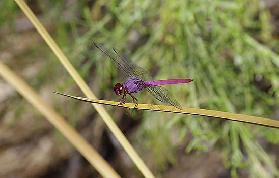 Dragonfly by David Rizzo