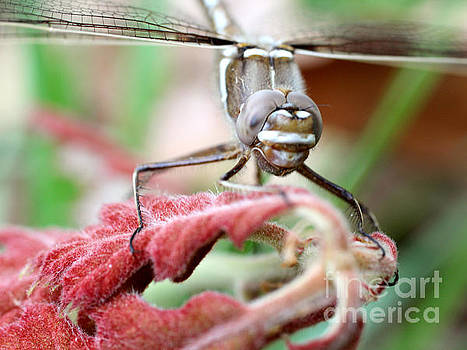 Dragonfly face to face by Adam Long