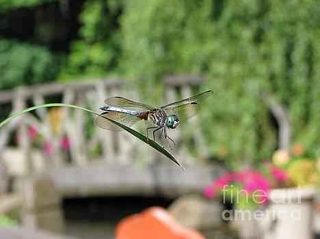 Dragonfly by Michael Krek