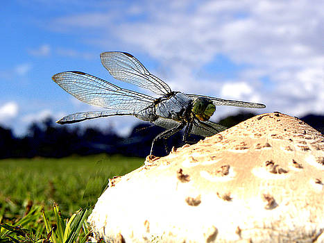 Dragonfly on a mushroom 000 by Chris Mercer