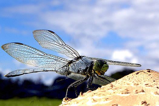 Dragonfly on a mushroom 001 by Chris Mercer