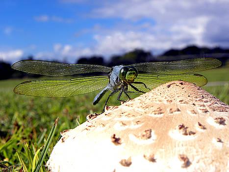 Dragonfly on a mushroom by Chris Mercer
