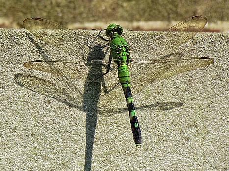 Dragonfly Shadow by Cynthia Guinn
