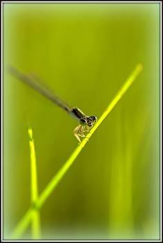 Dragonfly by Shayne Johnson Fleming