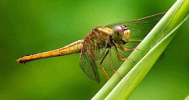 Dragonfly Singapore by Sandra Sengstock-Miller