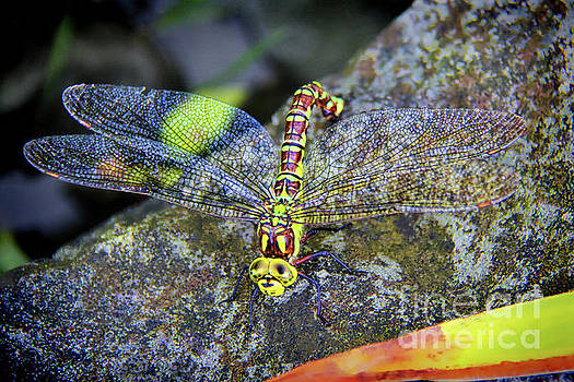 Dragonfly Surprise by Mariola Bitner