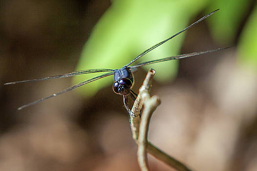Dragonfly by Terry Thomas