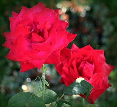 Rosanne Jordan - Dramatic Red Roses