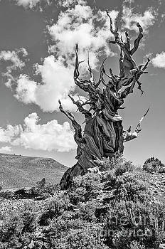 Jamie Pham - Dramatic view of the Ancient Bristlecone Pine Forest.
