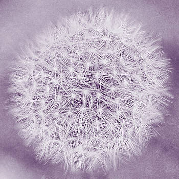 Dreams of Dandelions Purple by Emily Kay