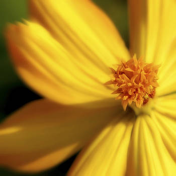 Jeannie Burleson - Dreamy Coreopsis