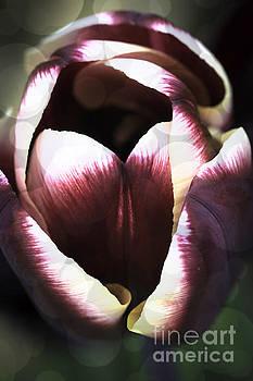 Steve Purnell - Dreamy Tulip