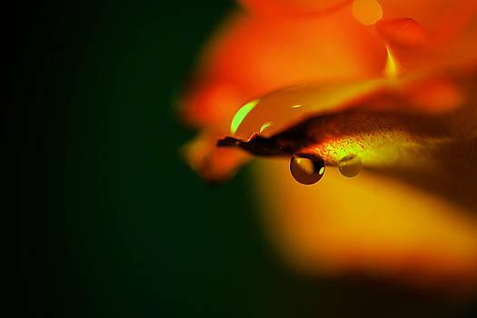 Droplet off a rose petal by Jeff Swan