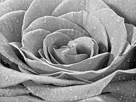 Droplets on Rose by Debbie Dee