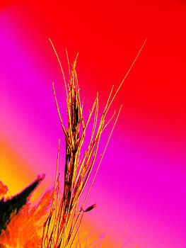 Dry Grass by Ingrid Dance