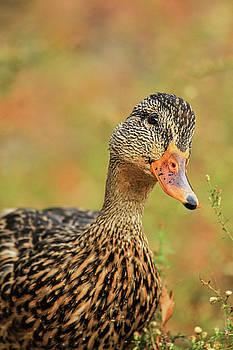 Karol Livote - Duck Alert