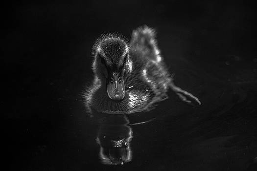 Duckling - Black and White by Greg Thiemeyer