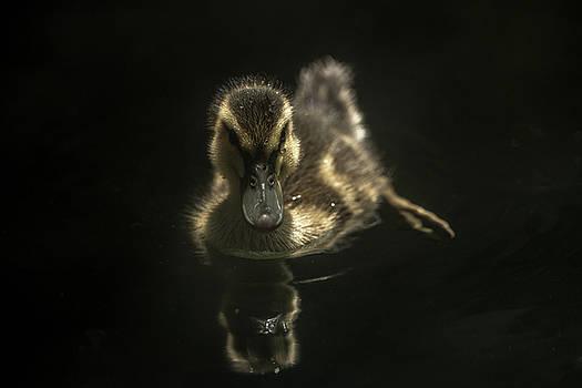 Duckling by Greg Thiemeyer