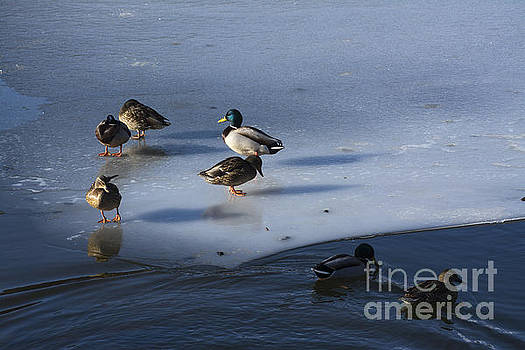 BERNARD JAUBERT - Ducks mallard on afrozen lake