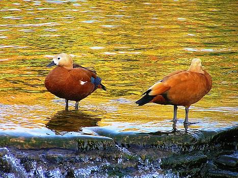 Ducks by Oleg Zavarzin