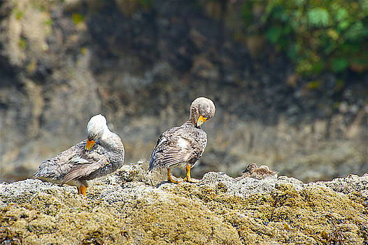 Ducks on a Rock by Richard Gehlbach