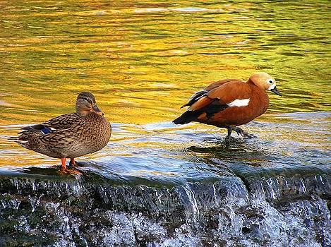 Ducks Walk by Oleg Zavarzin